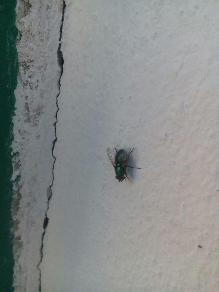 Moucha Domácí (Musca Domestica) u nás na zahradě
