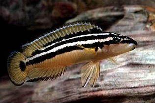 Julidochromis Boulenger, 1898