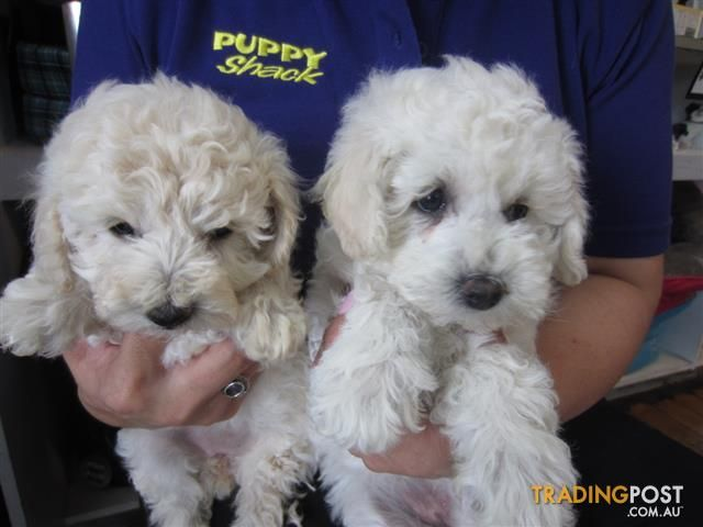 Bichoodle Bichon X Toy Poodle Puppies At Puppy Shack Brisbane In