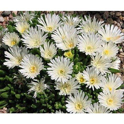 Mittagsblume Delosperma congestum White Nugget | Hauenstein's Pflanzenshop