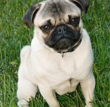 Pug. I have nothing more to say.