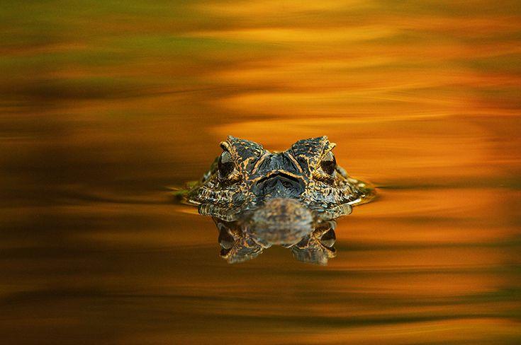 Yacaré Caiman, Pantanal, Brazil
