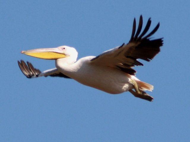 Pelican flying over Makakatana Bay - Lake St Lucia