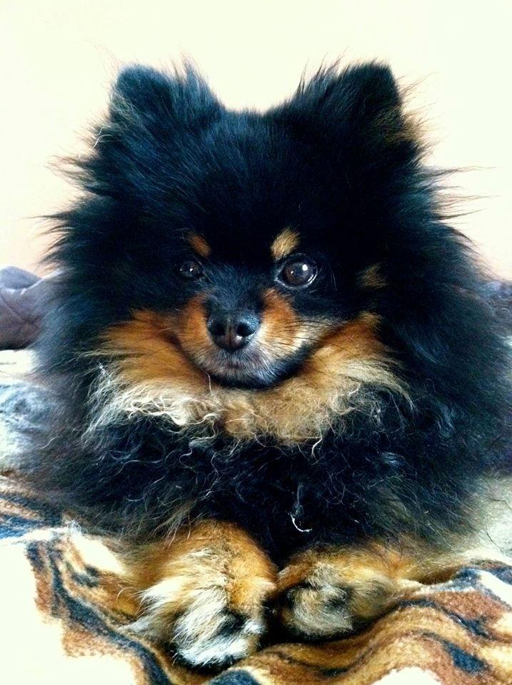 Pom and circumstance! Dogs #pets #Pomeranians facebook.com/sodoggonefunny