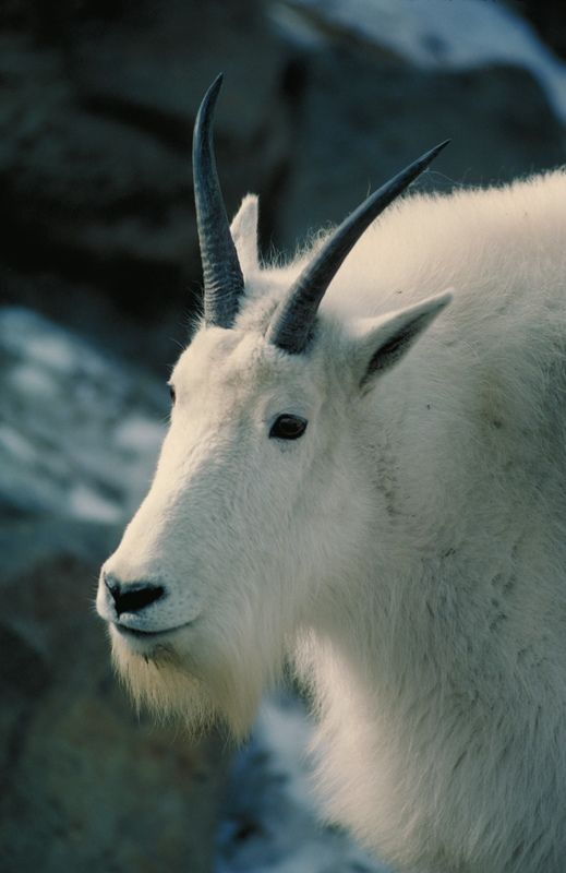 """You are greatly admired and don't even know it."" CAPRICORN GOAT"