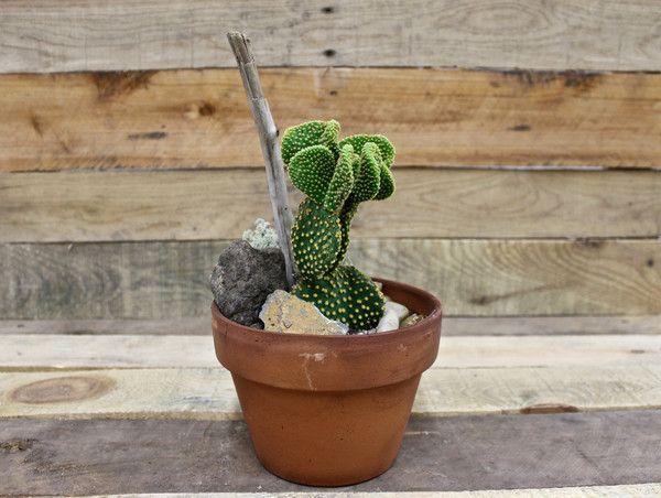 """Cactus buisson - pot de 6"""""""