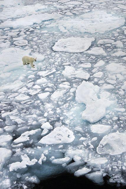 Polar bear on ice, Svalbard Archipelago, Norway (by pilapix).