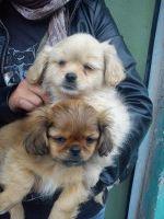 La gran feria de cachorros dispone de Pekinés a $ 100 - Akyanuncios.com - Publicidad con anuncios gratis en Ecuador
