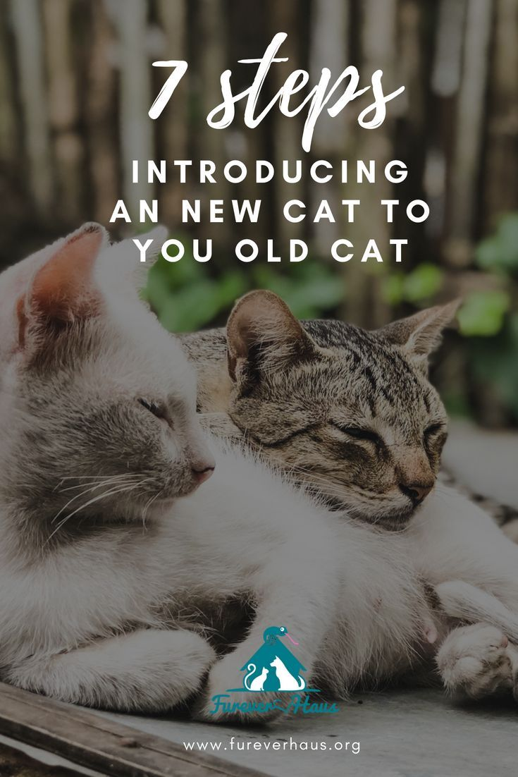 Cats Love Company But Introducing A New Cat To Your Old Cat Can Be Challenging Here Are 7 Steps To Making The Transi Introducing A New Cat Cat Care Old Cats