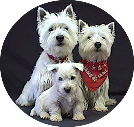 West Highland White Terriers breeders