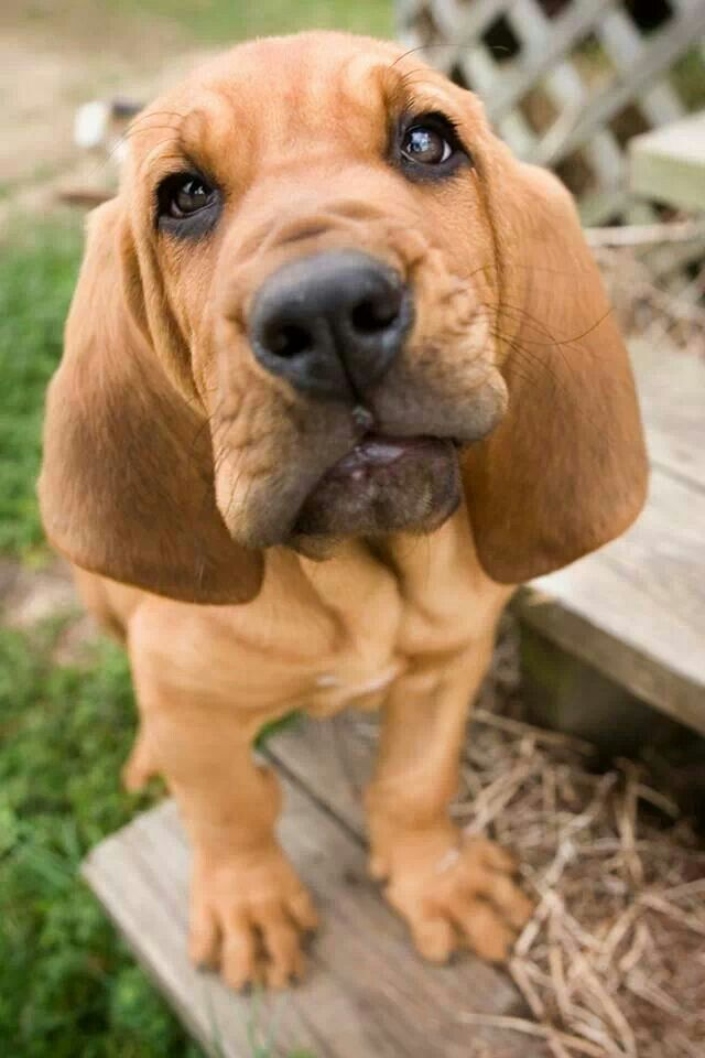 Beautiful Bloodhound puppy!
