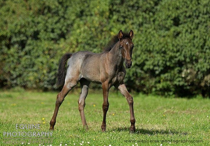 Blue roan Tennessee Walking Horse Foal | Wild Horses ...
