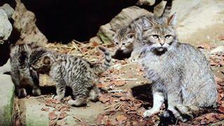 (Alexander) Andreas Kieling beobachtet weiter die Entwicklung der jungen Wildkatzen im Nationalpark Bayerischer Wald. Der Nachwuchs ist nun ca. 5 1/2 Wochen alt. Es ist erstaunlich, wie sehr sich das Verhalten der Jungen innerhalb von nur gut einer Woche verändert hat.