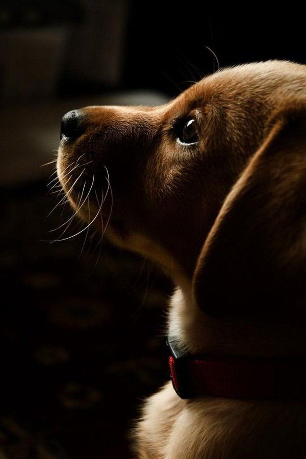 Puppy dog eyes - 50 Lovely Puppy Pictures  <3 <3