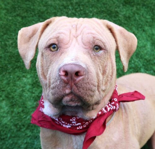 CAESAR- A1113332 - - Manhattan  TO BE DESTROYED 06/06/17  **ON PUBLIC LIST**   A volunteer writes: Don't tell Caesar he isn't the best looking dog on the planet, as he simply won't believe you. Rocking a bow tie, thrilled to be hanging out for pets and cuddles, and even more thrilled when a squeaky toy is tossed, Ceasar runs after the toy, tail wagging like a stallion! Bouncing around the pen, toy in mouth and having the best time making it squeak, he fina