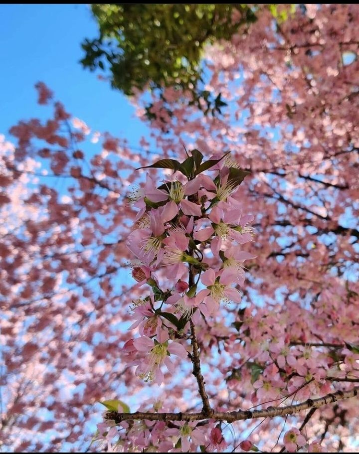 Did You Know India Is The Only Country Where Cherry Blossoms Bloom In The Autumn Season Pinaqin In 2021