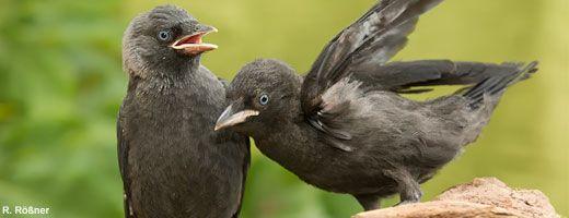 Dohle, geselliger Rabenvogel mit Koepfchen