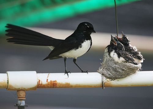 Willy Wagtail at nest