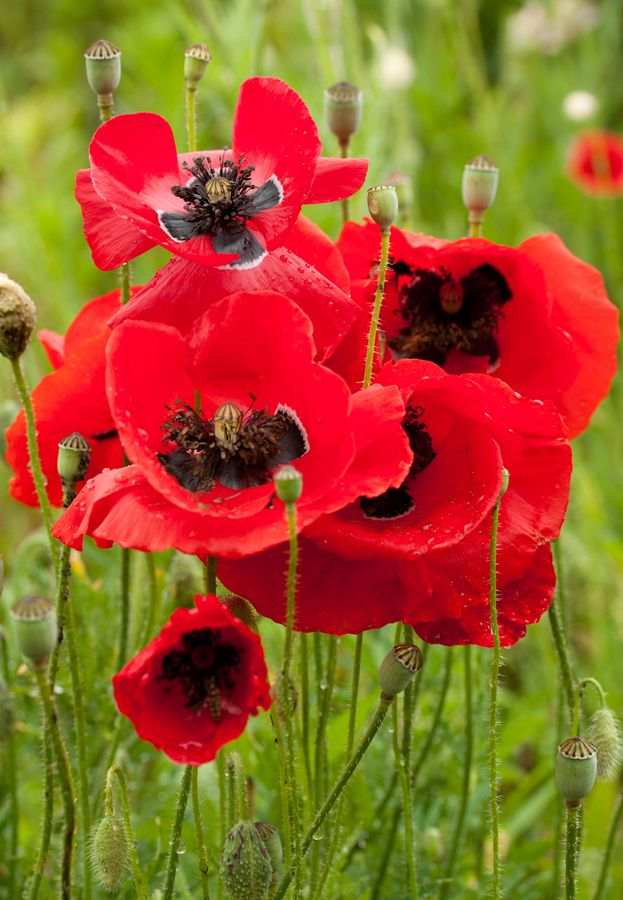 1709 best poppies images on pinterest beautiful flowers flowers red poppy mightylinksfo