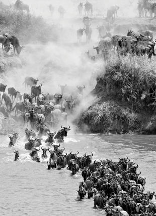Catch a glimpse  of the White-Breared Wildebeest migration in the Serengeti with CW #CWAdventure #Safari #Tanzania #Serengeti #Migration