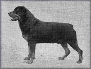 #Rottweiler // Axel von der Kappenbergerheide (1954) | working-dog.eu