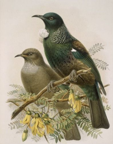 Check out Tui from Buller's Birds by John Keulemans at New Zealand Fine Prints