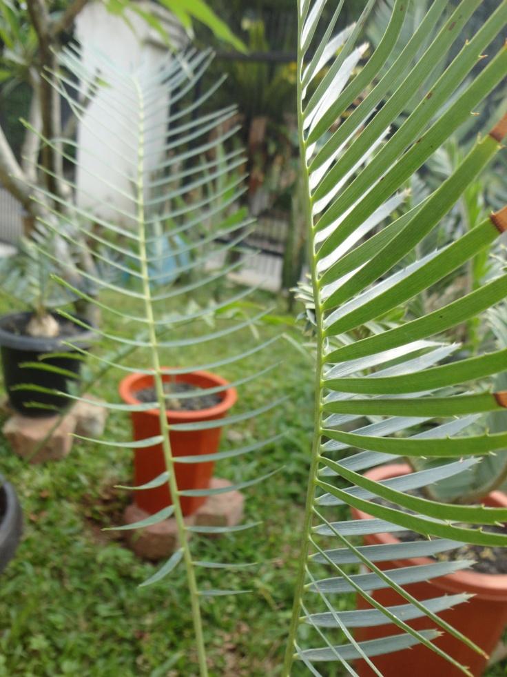 Encephalartos laevifolius 'Kaapsehoop'