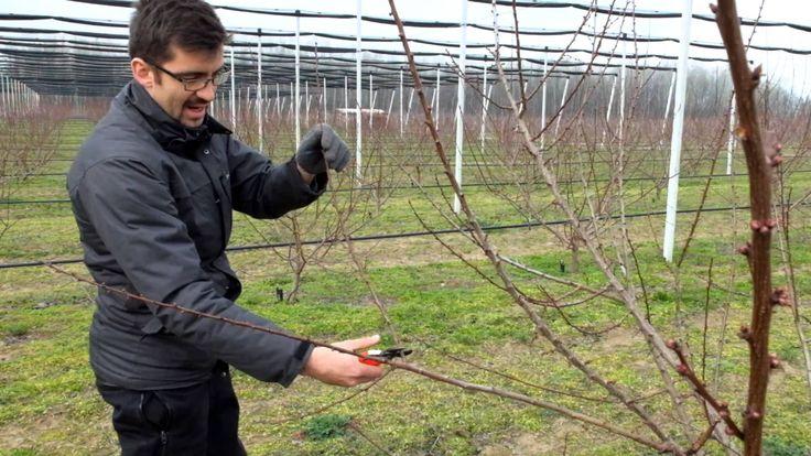 kajszi metszes, apricot pruning, potatura albicocco