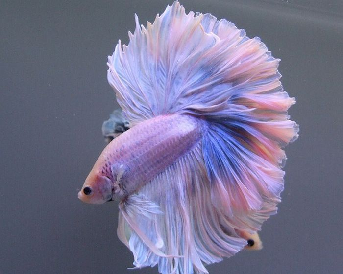 316 best images about betta fish on pinterest green for What kind of fish can live with a betta