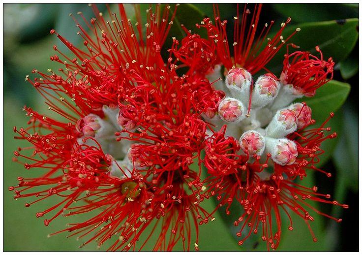 pohutukawa tree in flower, NZ