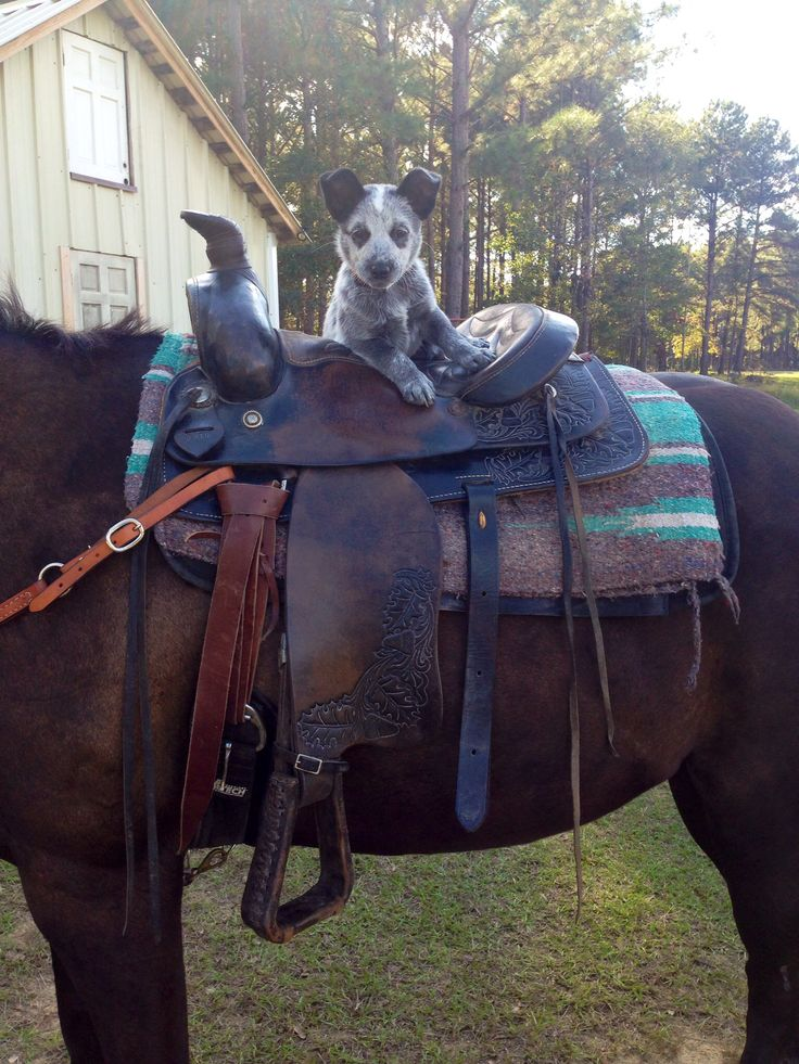 Australian cattle dog. I bet this is what my dog Obi looked like as a baby!!