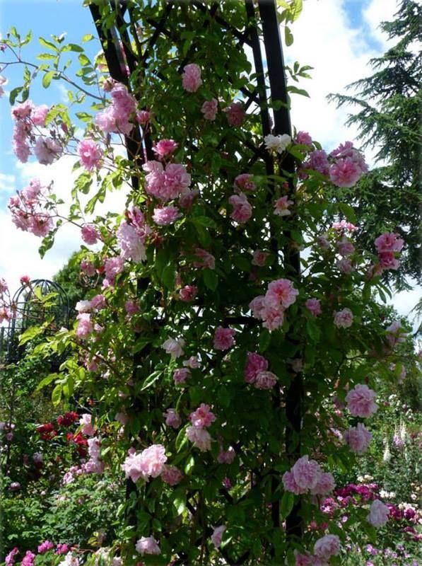 (2/4) Der Sommerbesuch im Rosengarten von Peter Beales Roses in Attleborough ist ein ganz besonderes Erlebnis. Rosen pur! Rosenduft im Überschwang!