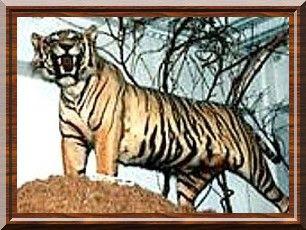 Tigre de Java empaillé