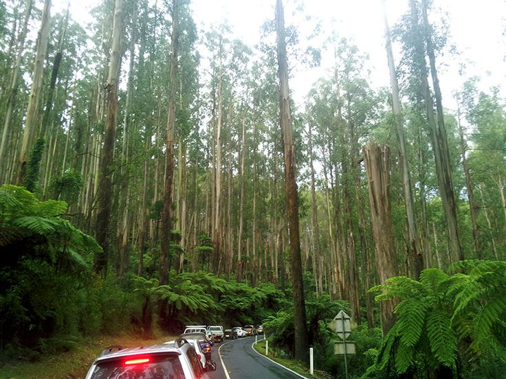 The Black Spur Yarra  Ranges Victoria Australia. Traffic jam after Mountain Ash fell across the road.