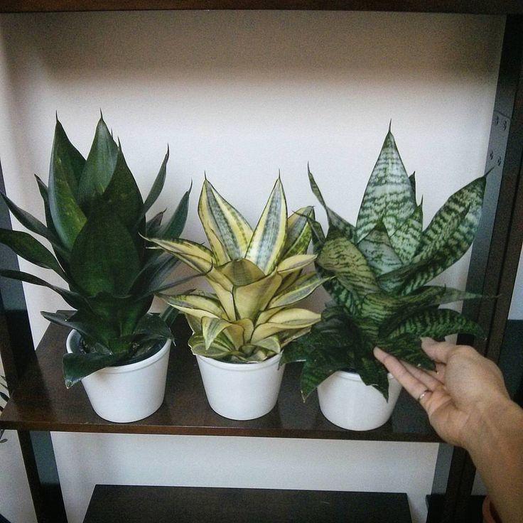 2428 besten sansevieria bilder auf pinterest sukkulenten for Dekor von zierpflanzen
