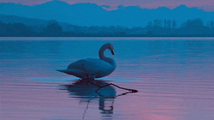 gif photos swan