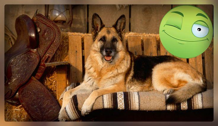 Немецкие Овчарки - Забавные! Смешные собаки немецкая овчарка