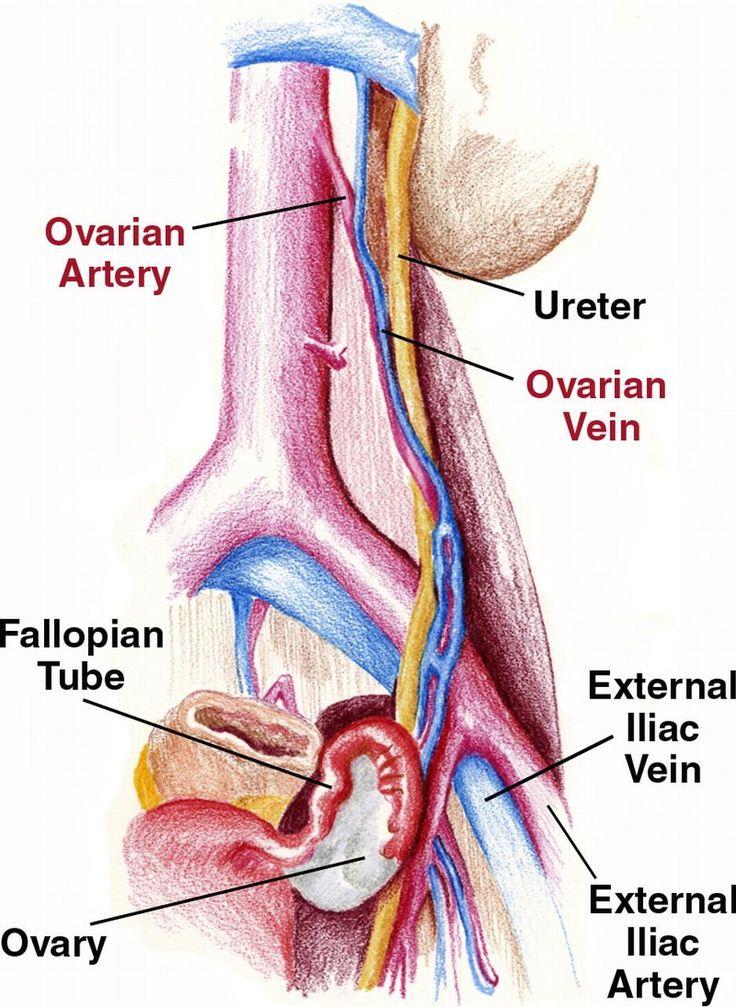 Iliac vein anatomy
