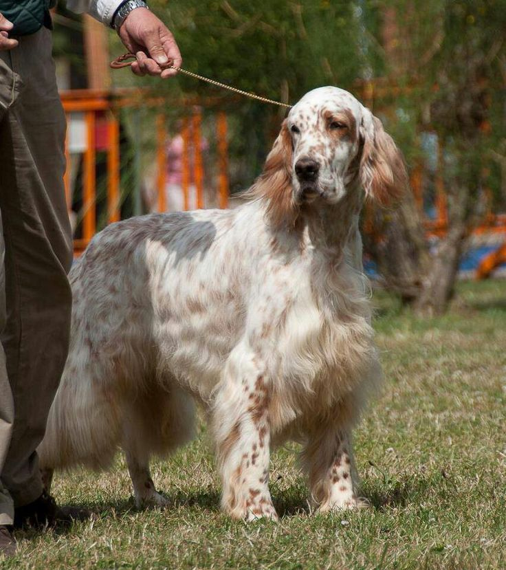 Englis Setter (orange Belton coloring) | English setter ...