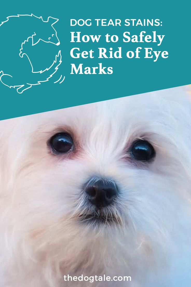 Dog tear stains how to safely get rid of eye marks dog