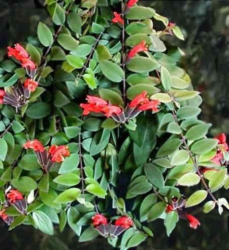 aeschynanthus lobbianus - Cerca con Google