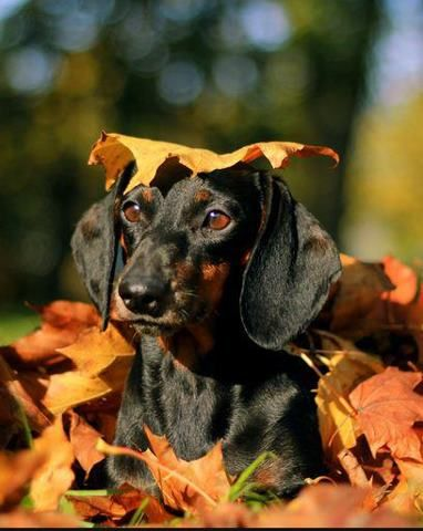 Doxies in the fall!
