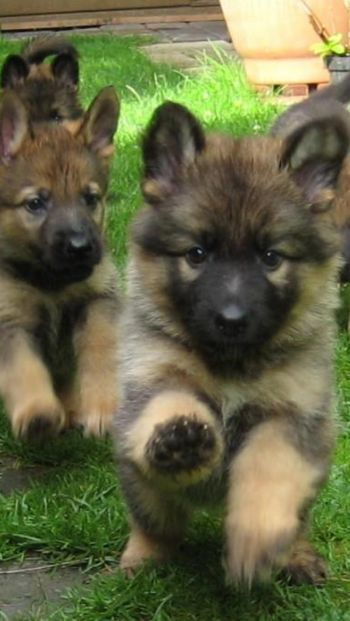 German Shepherd Puppies coning in for a kiss