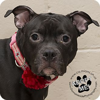 I am at a full, kill shelter in Troy, OH - Pit Bull Terrier Mix. Meet Tulip, a dog for adoption. http://www.adoptapet.com/pet/17898260-troy-ohio-pit-bull-terrier-mix