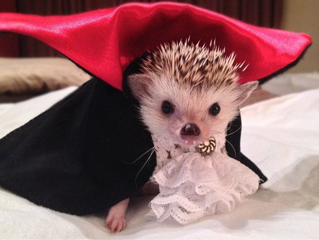 This Dracula hedgehog. | 42 Pictures That Will Make You Almost Too Happy: