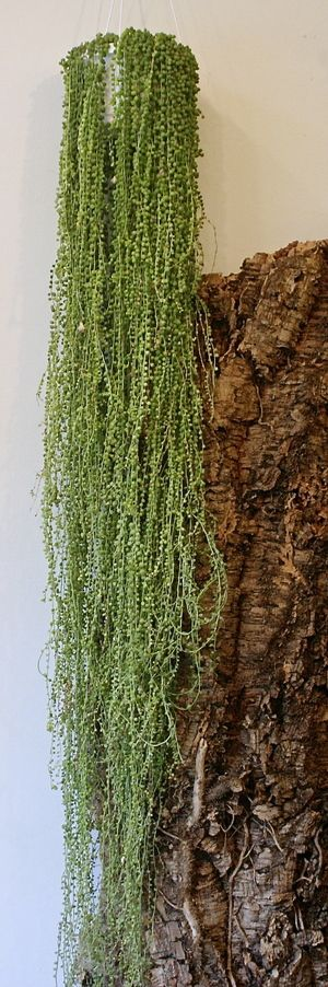 String of Pearls #Senecio #Herrianus, or is it senecio #rowleyanus. Who can tell me?
