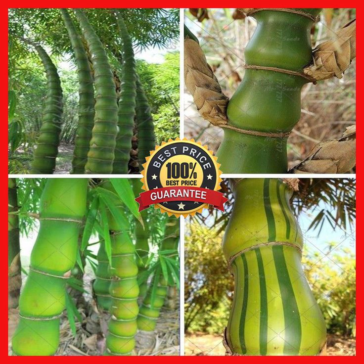 200+  Buddha's Belly Bamboo Bambusa Ventricosa, Bamboo Seeds #BambooSeed