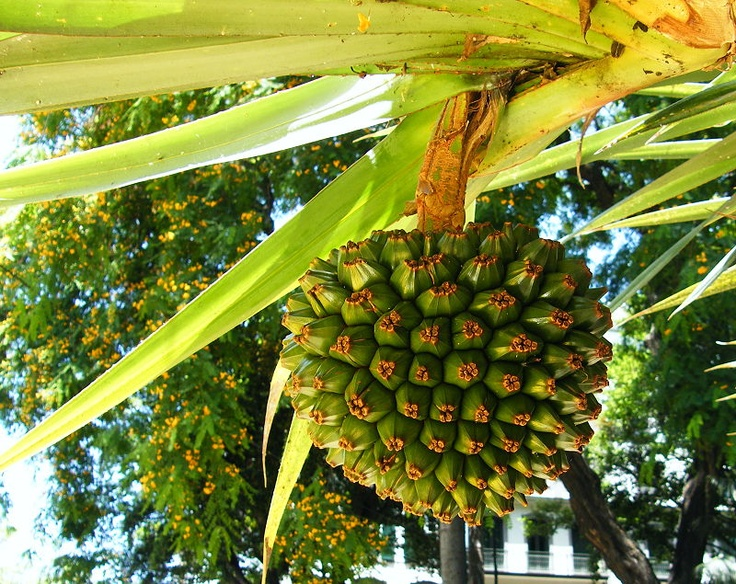 "Pandanus ""The Kewra-Plant'"