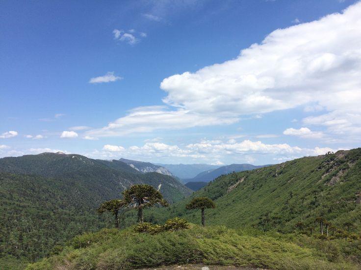 Mar de araucarias. Parque Nacional Conguillio, sendero Sierra Nevada.
