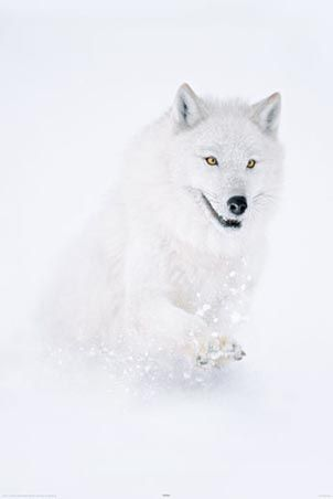 Perfectly camouflaged Arctic wolf running through snow and ice.